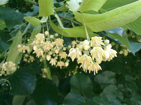 tiglio fiori tutti pazzi per le piante fragranza di tiglio