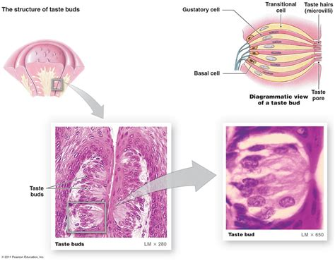 diagram of taste buds image gallery gustatory cells