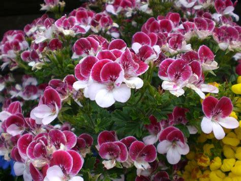 fiori da terrazzo invernali beautiful fiori da terrazzo invernali images idee