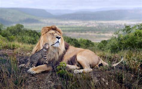 lion   cat  poetry corner