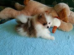 why do pomeranians water pomeranians teddy bears and bears on