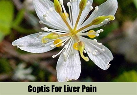 Bitters And Coptis Detox by Top 5 Herbal Remedies For Liver How To Treat Liver