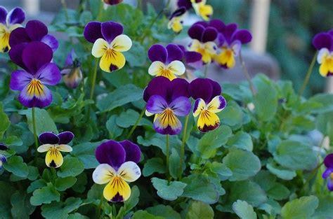 Low Light Plants by Viola Cornuta V Tricolor