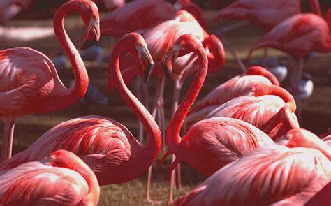 flamingos hd wallpaper flamingos images flamingo hd wallpaper and background