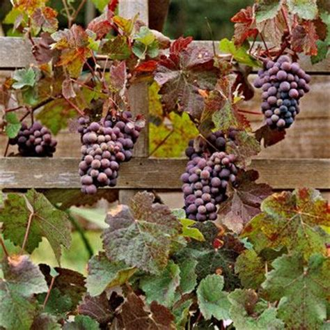 Backyard Grape Vine by How To Grow Grapes In Your Backyard Sun Backyards And