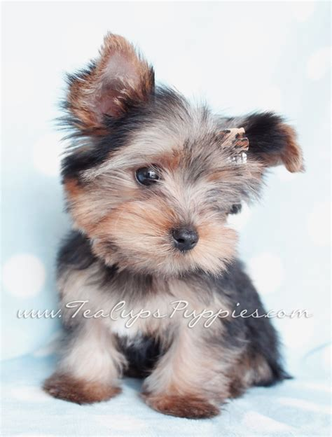 teacup terrier puppies yorkie puppy puppies for sale teacup pictures of litle pups