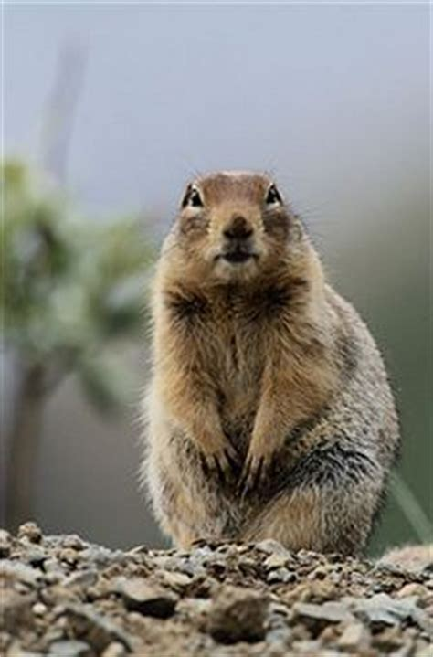 how to get rid of a gopher in my backyard how to get rid of gophers