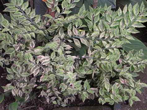 Designer 04 Variegated by Euphorbia Tithymaloides Variegatus Variegated S