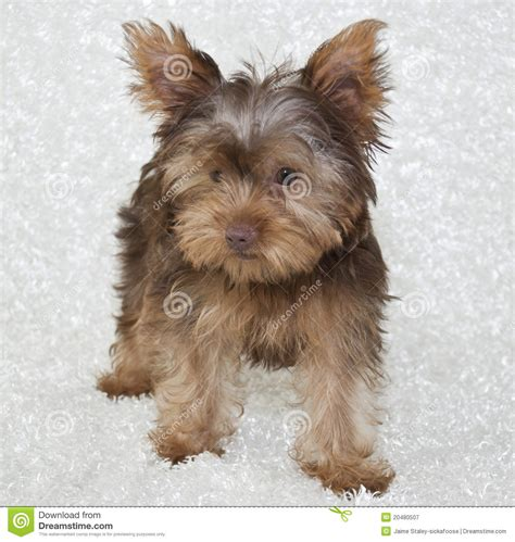 chocolate yorkie poo puppies brown yorkie puppies www pixshark images galleries with a bite
