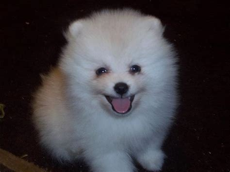 white pomeranian breeder below are our exles of whites we produced here to give you an idea what our
