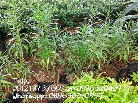 Jual Pohon Lavender Pengusir Nyamuk 081310690424 jual tanaman hias pengusir nyamuk pohon lavender murah