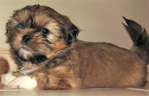shih tzu hair growth stages overivew of puppy development