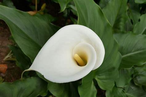 la calla fiore il fiore della calla fiori piante la calla
