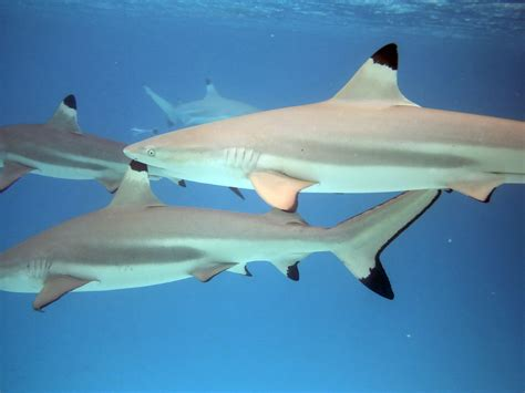 black tip shark the baby sharks free national geographic pix