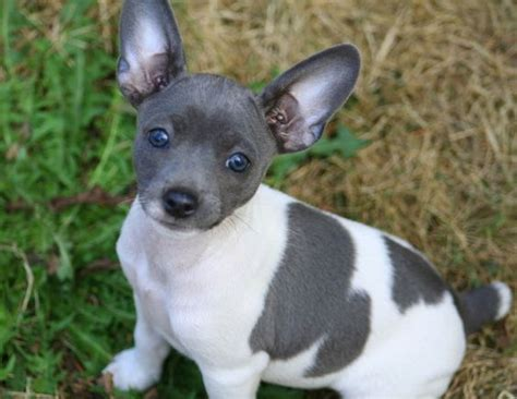 rat terrier puppies terrier puppies and for less on