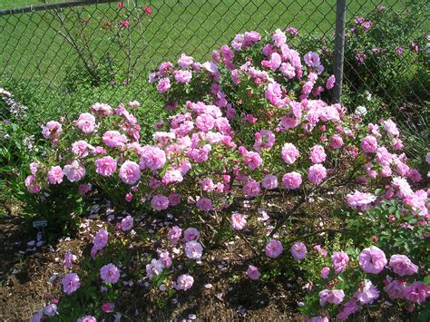 how to grow shrub roses growing and caring for shrub roses
