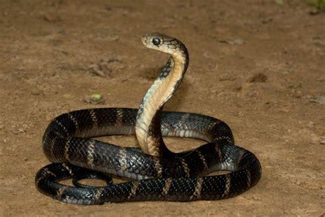 film ular cobra india 15 interesting facts about king cobra ohfact