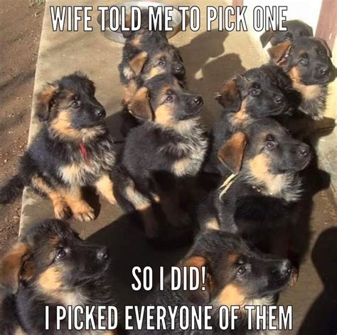 Funny German Shepherd Memes - the 25 best funny german shepherds ideas on pinterest
