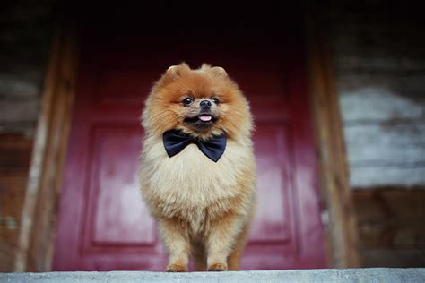 Dog Duvet Beautiful Pomeranian Dog Serious Dog Near Door Cute Dog