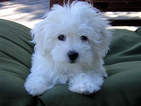 short puppy cuts for maltese maltese haircuts styles pictures displaying 15 gt images