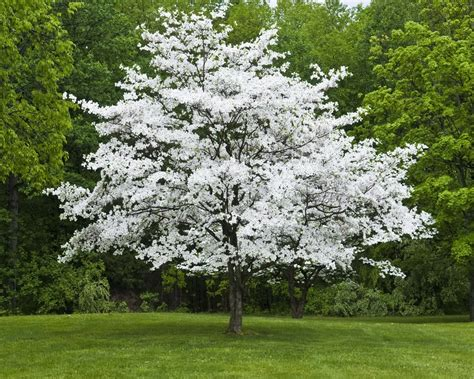 american dogwood tree westchester tree life