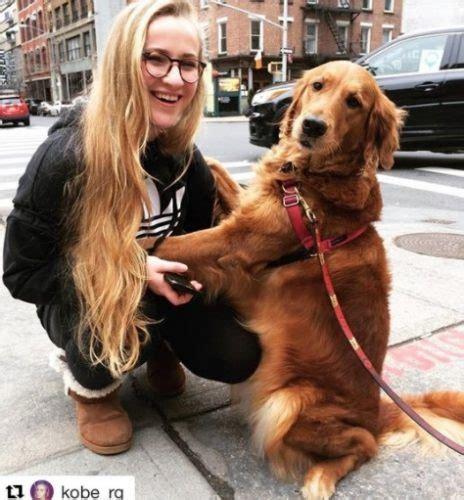 louboutina golden retriever conheca louboutina uma golden retriever famosa em york por gostar de distribuir