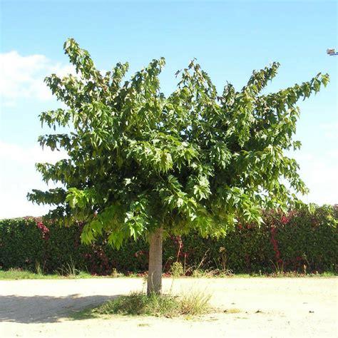 Murier Blanc Arbre m 251 rier blanc morus alba vente arbre et arbuste