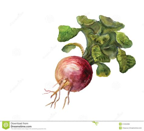 turnip pattern new leaf watercolor turnip stock illustration image 51304289