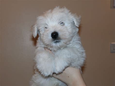 westie for sale adorable kc registered westie puppy for sale bicester oxfordshire pets4homes