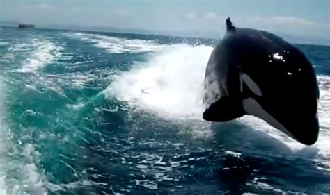 whale boat video race between speedboat and orca whales watch video