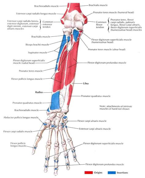 muscle origins and insertions muscles of forearm origin and insertion google 검색 anatomy references arm