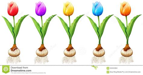 what color are tulips different color of tulips stock vector image 63434384