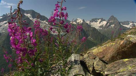 fiori di alta montagna fiori di montagna caucaso hd stock 890 178 364