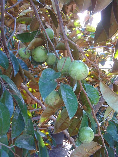 florida fruit tree nursery botanical visions florida landscape design excellence