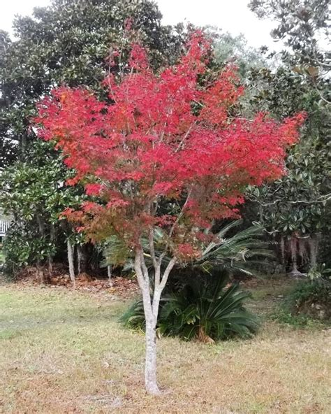 japanese maple in full fall color trees pinterest