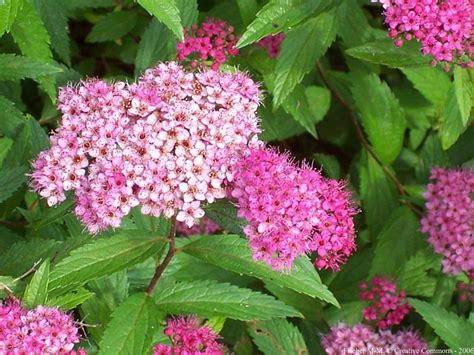 small shrubs with flowers growing and planting spirea spirea care guide balcony