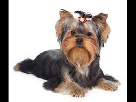 are yorkies easy to potty when to start potty
