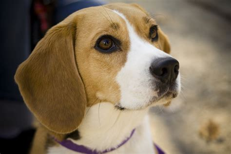 File:Beagle portrait Camry   Wikimedia Commons