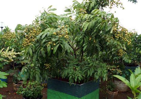 Bibit Kelengkeng Dalam Pot panduan lengkap cara menanam kelengkeng dalam pot dengan