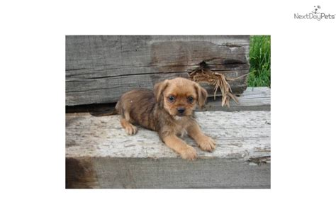 my yorkie has been throwing up yorkie poo rescue for breeds picture