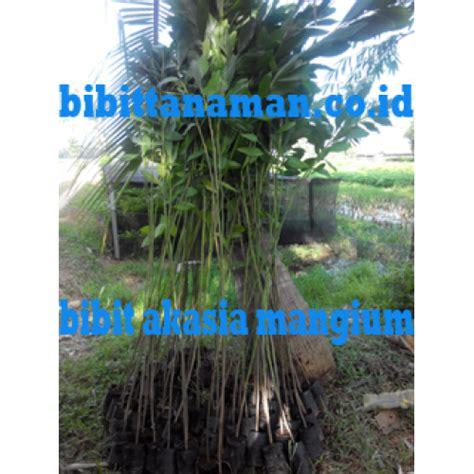 Bibit Akasia Daun Lebar home bibit tanaman the knownledge