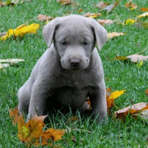 silver lab puppies for sale in oregon well socialized labrador retriever silver puppies craigspets