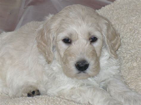 golden labradoodle puppy in home breeder of multi generation golden doodles and medium labradoodles