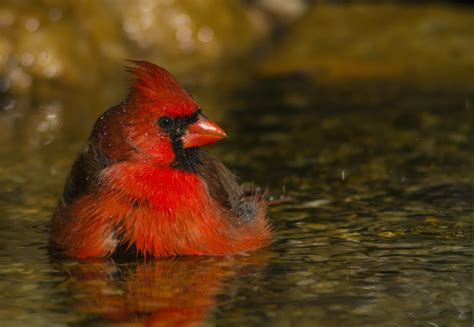 the birds and the northern cardinal audubon field guide