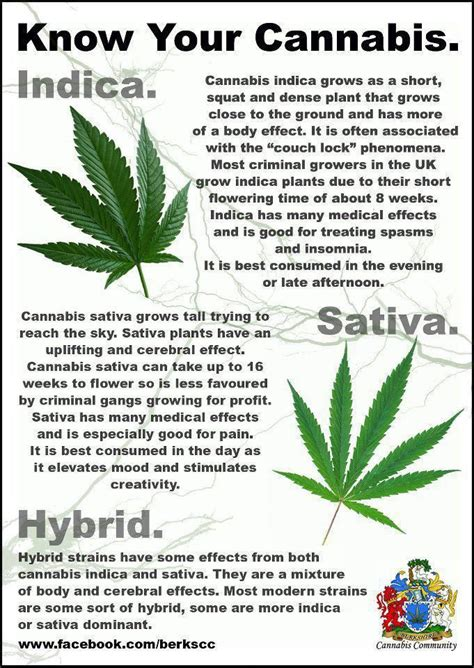 which is better or indica indica vs marijuana information infographics