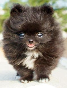 how do teacup puppies live how do pomeranians live teacup pomeranian pies and teacup puppies