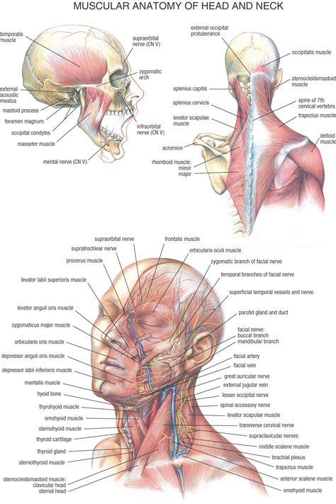 Neck Gland Anatomy