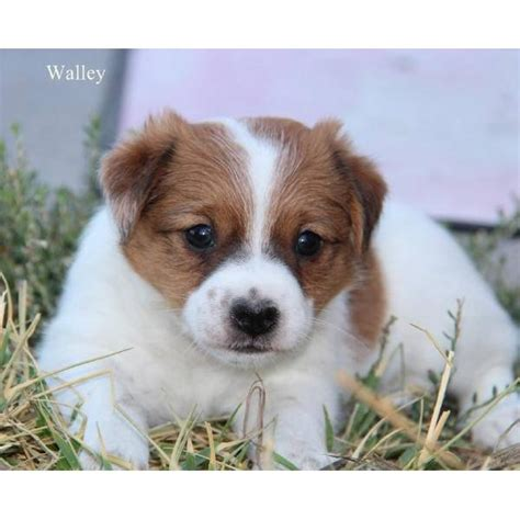 shorty puppies for sale 1000 images about shorty puppies in colorado on theater puppys and