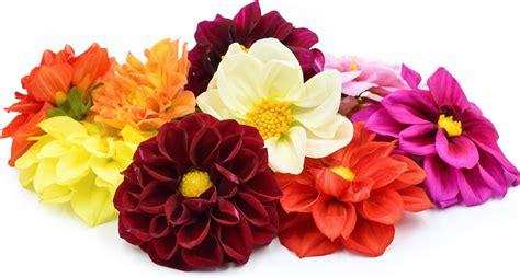 dahlia flower facts images