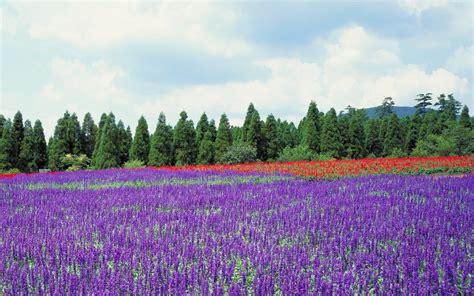 japan trees flowers lavender purple flowers wallpaper 1920x1200 240995 wallpaperup